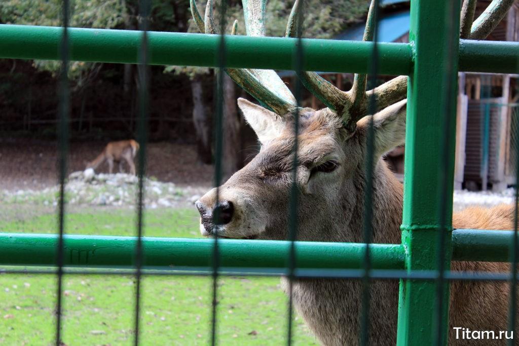 Кавказский благородный олень