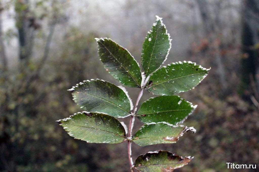 Листья в изморози
